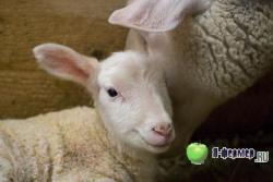 Овцематки кормят выменем и заботятся о подсосных ягнятах.