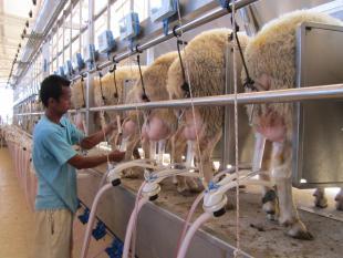 Доение овец фото