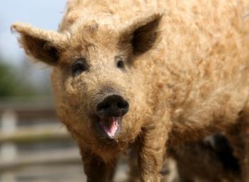 свинья-овца породы Мангалица, фото