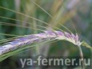 В Татарстане начнут размножать новый сорт пшеницы с фиолетовыми зернами