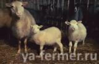 Продаем стадо овец Романовские-Тексель