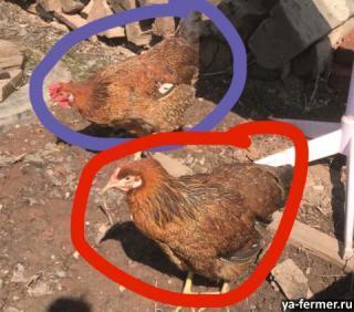 Заболела курица, вялая, плохо ест
