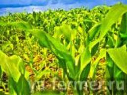 Поставим кукурузу 1,2 класса