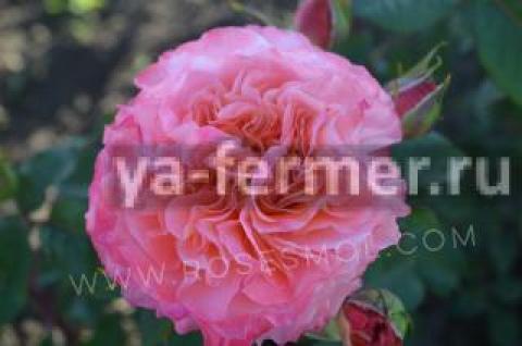 Саженцы роз оптом от производителя