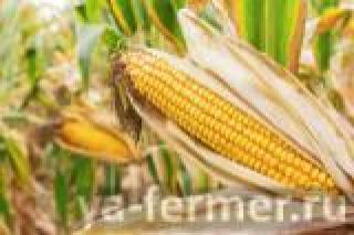 Краснодарский 291 кукуруза (семена)