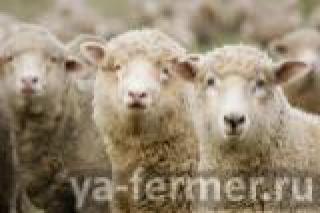 Республика возможностей: Семья Абдуллиных при поддержке Минсельхозпрода РТ занялась овцеводством