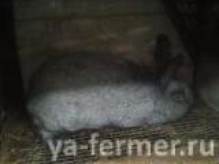Продажа кроликов в Новосибирске