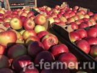 Продаём яблоки оптом напрямую из Краснодара.