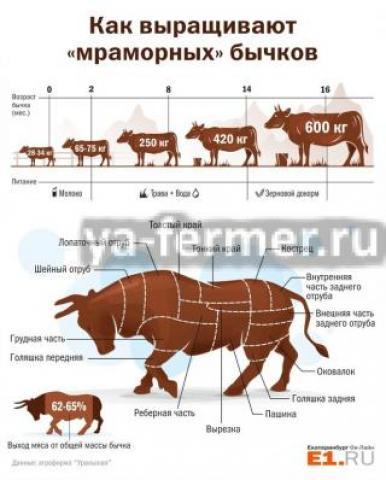Как выращивают мраморных бычков, схема откорма