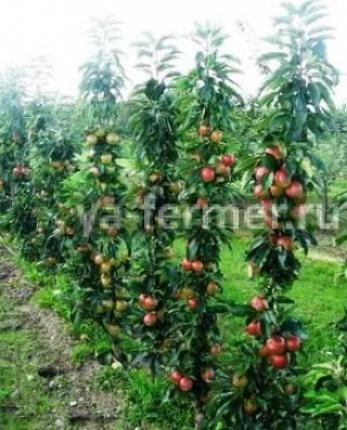 Колоновидные яблони фото.