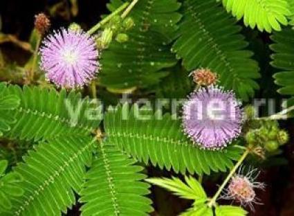 Мимоза стыдливая, Mimosa pudiса фото