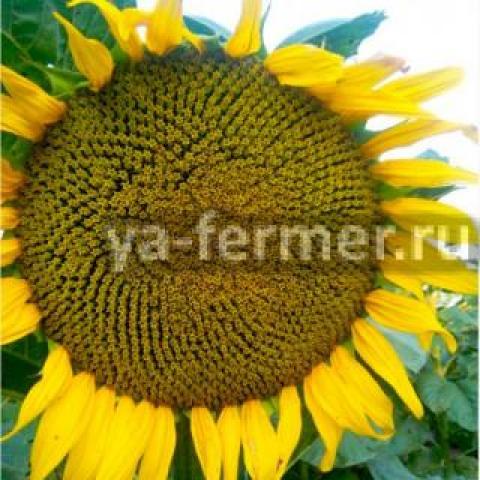 Продаю семена подсолнечника сорт Казачий РС1