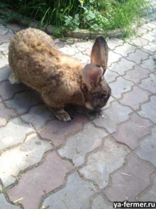Кролики фландр, баран, ризен, рекс, великан, нзб и др.
