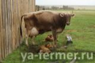 У коровы не отходит послед, что делать?