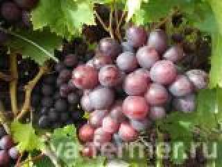 Секреты татарстанских виноградарей: Как вырастить сладкий виноград?