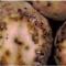 Поражённые картофельной молью клубни картофеля