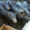 Можно ли кормить вьетнамских вислобрюхих свиней обычной кормосмесью для свиней и картошкой?