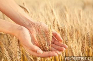 Семена озимой пшеницы среднеспелый сорт Гром