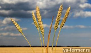 Семена озимой пшеницы среднепоздний сорт Юка продаём