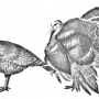 Происхождение, породы, распространение, хозяйственное значение индейки