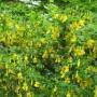 Желтая акация — очень ценный медонос