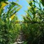 Кукуруза с соей – на силос