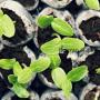 Подготовка и посев семян огурцов