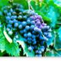 Сорт винограда Фиолетовый Ранний