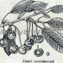 Гриот остгеймский (Шпанка черная, Остгеймская)