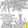 Поражение пчел другими видами клещей Акарапис