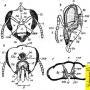 Строение головы у медоносной пчелы