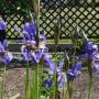 Биологические особенности и агротехника ириса