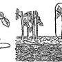 Размножение благородных роз