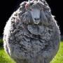Как постричь овец и ягнят