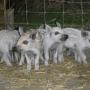 Помещения для воспроизводства свиней