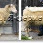 Как самостоятельно постричь овцу