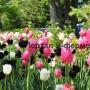 Тюльпаны в оформлении