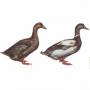 Происхождение домашних уток. Виды и породы домашних уток.