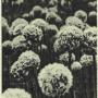 Нектаропродуктивность и опыление цветков лука