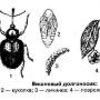 Долгоносик-короед