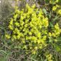 Очитки - травянистые растения семейства толстянковых