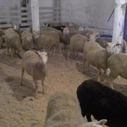овцы породы Финский Ландрас