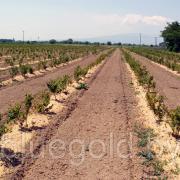 плантация голубика