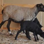 Овцематка с ягнятами.jpg
