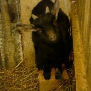 Карликовые камерунские козы, козлёнок