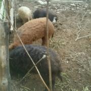 свиньи и хряки мангалицы
