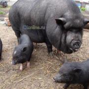 Вьетнамские свиньи, поросята, свиноматки покрытые, хряки, мясо живым весом, туши