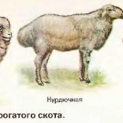 овцы различных пород