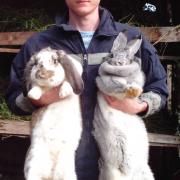 Продаю на племя кроликов порода Бельгийский великан Фландр, Французкий баран