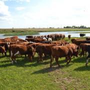 крупный рогатый скот на продажу